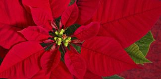 Are poinsettias or any other holiday plants poisonous?