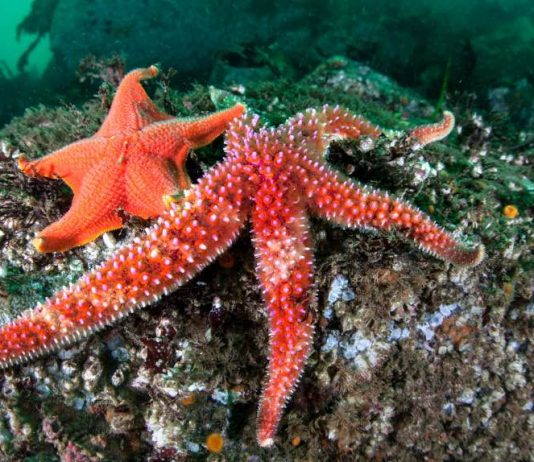 Starfish making comeback after syndrome killed millions, Report