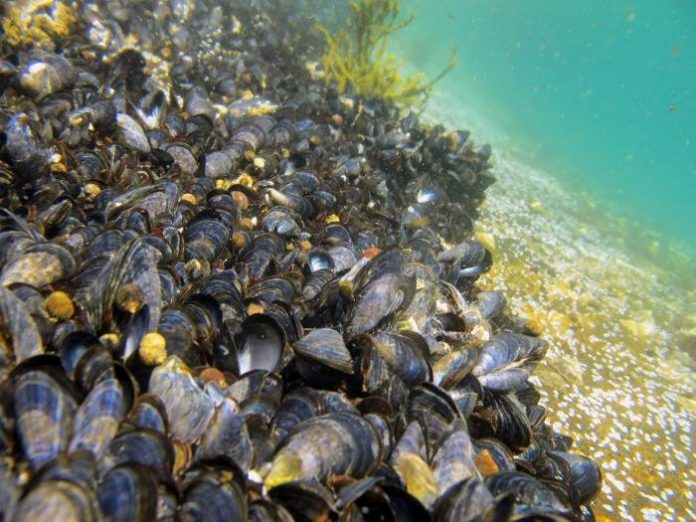 Why There Might Be Plastic in Your Mussels
