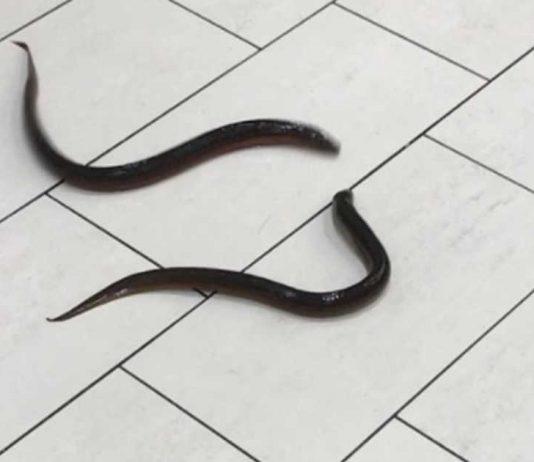 Eels left in Scarborough mall bathroom (Watch)