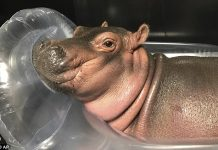 Fiona Baby hippo raises nearly $500K for Cincinnati Zoo