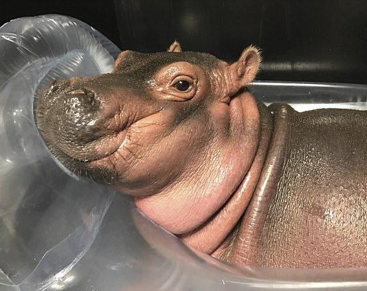 Fiona Baby hippo raises nearly $500K for Cincinnati Zoo