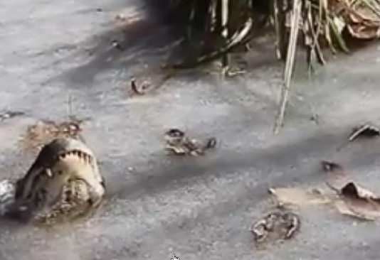 NC's frozen alligators thawed out (Video)
