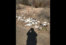 75 Geese Shot and Dumped in Missouri, Report