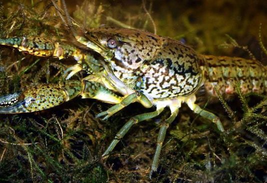All-female crayfish in Europe can clone itself