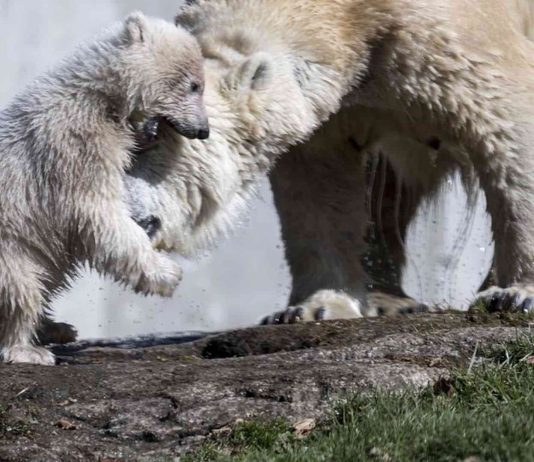 Climate change forces polar bears to change diet