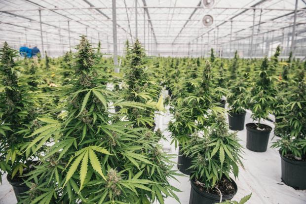 Marijuana Delayed Beyond July 1