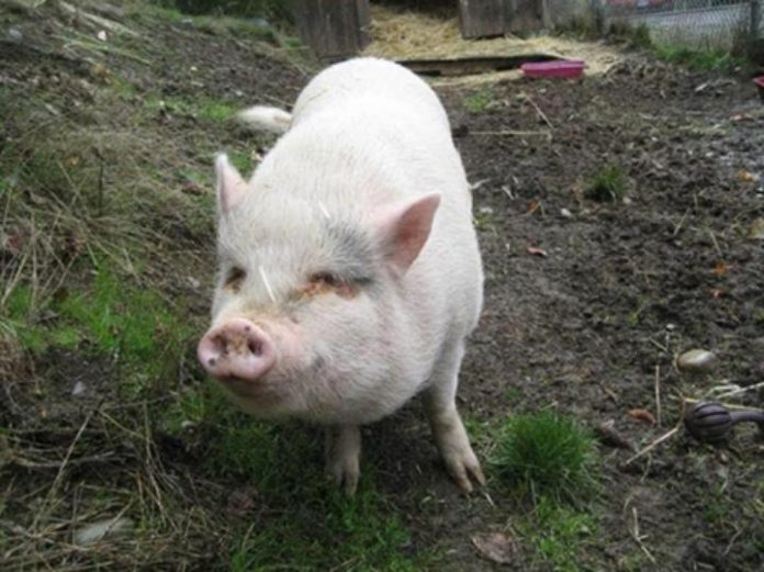 Pet Pig Adopted Killed and eaten on Vancouver Island