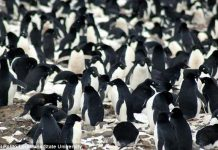 Huge 'Mega-colonies' of 1.5 million penguins discovered in Antarctica