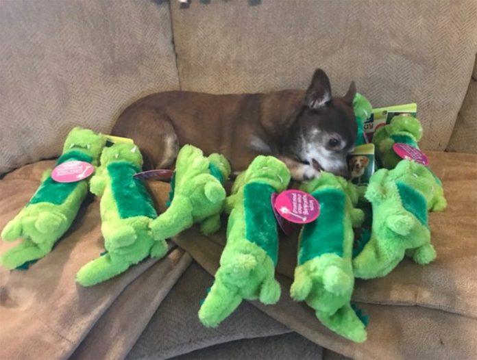 Jaxon find her favourite PetSmart toy