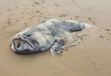 "Picture: Massive ""Monster Fish"" Washed Up On A Beach In Australia"