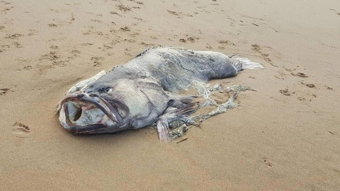 """Picture: Massive """"Monster Fish"""" Washed Up On A Beach In Australia"""