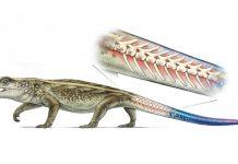 Study: Ancient reptile could separate tail to escape predators