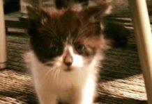Adorable Kitten Joins Michigan Police