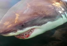 Canada shark: Ottawa eyes protection measures, Report