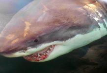 Canada shark: Ottawa eyes protection measures, Report