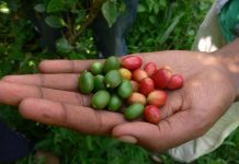 Many coffee species threatened with extinction, Study