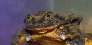 World's loneliest frog finds a possible mate, Report