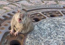 Fat Rat Rescued from Manhole Cover by Germany' (Video)