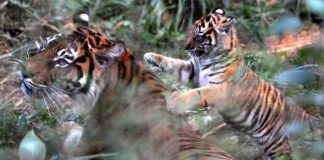 London Zoo Tiger Killed by Her Potential Mate (Reports)