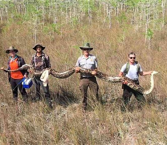 A 17-foot, 140-pound python was captured in a Florida park (Picture)