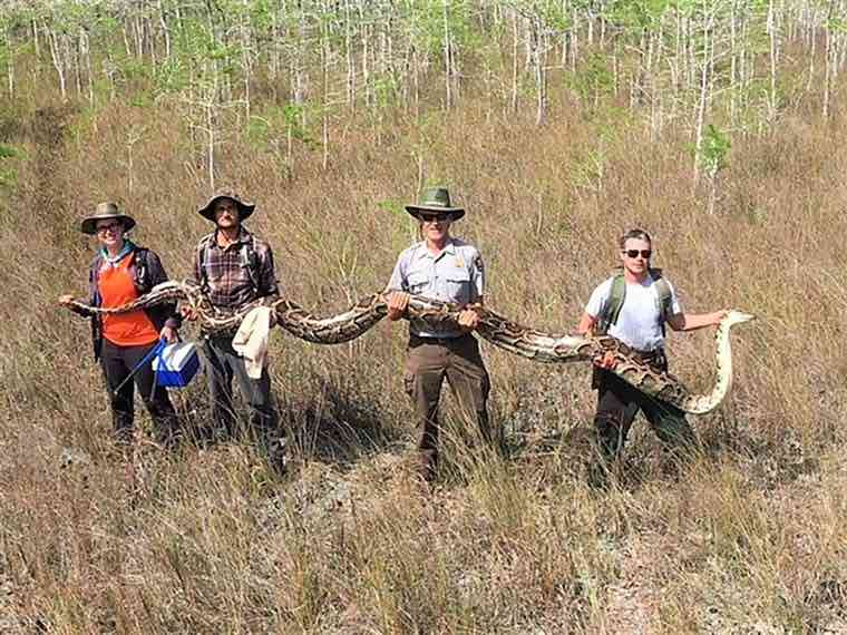 Researchers In Florida Remove Nearly 20-Foot Long Snake From Preserve