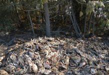 Dungeness crabs dumped beside major highway in northern BC highway
