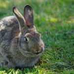Rabbit virus returns to mid-Island, Report