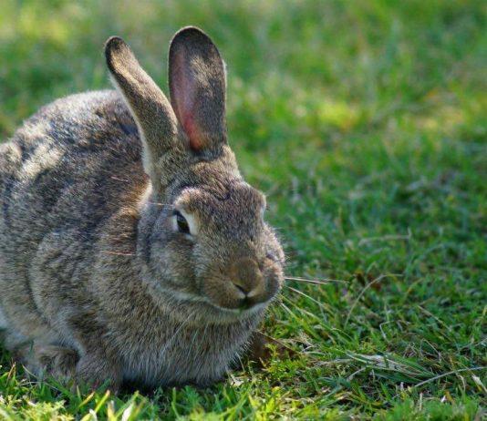 Rabbit virus returns to mid-Island, Report