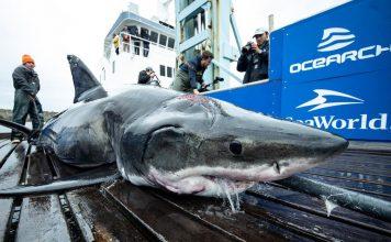 Great white shark bites Shark, captured in the North Atlantic