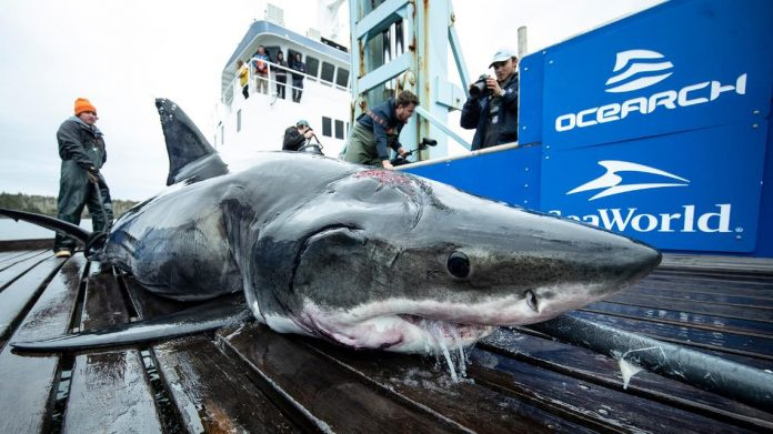 Great white shark bites Shark, captured in the North Atlantic
