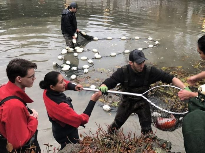 The Koi-snatching otter of Vancouver returns, Report