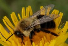 Bumblebees can experience an object using one sense (Study)