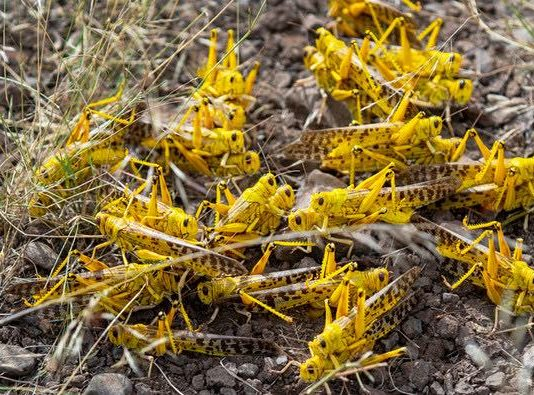 Somalia declares locusts a 'national emergency,' (Reports)
