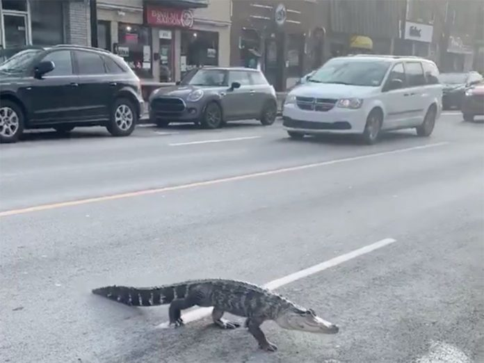 Villeray: Alligator reportedly bites girl in home