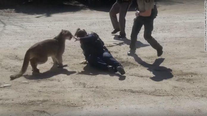 Colorado Mountain Lion Attacks Sheriff's Deputy & Resident