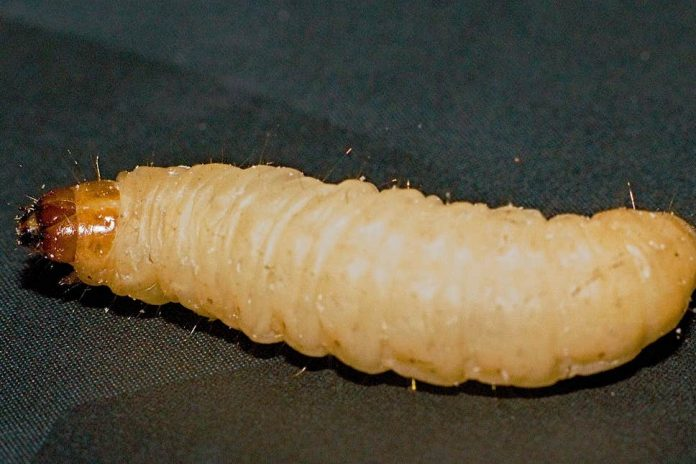 Plastic-eating caterpillar could chew its way through landfill (Study)
