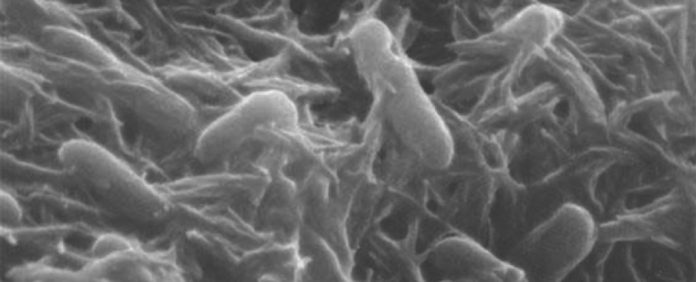 'Rock-breathing' bacteria are electron spin doctors, says new research