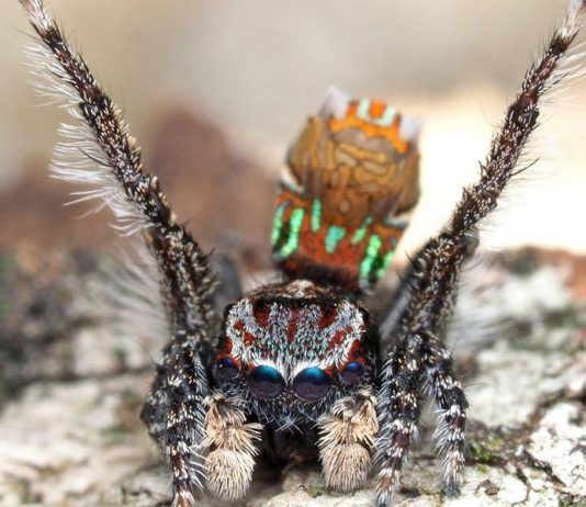 New Spider Discovered In Australia Named After Van Gogh, Study