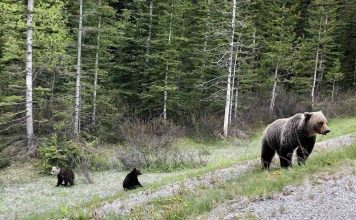 Bear cub with unique white head spotted in Alberta (Picture)
