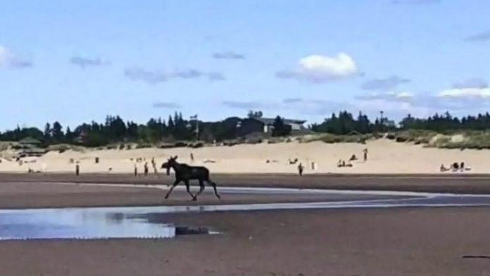Moose spotted on Parlee Beach dies from drowning, Report