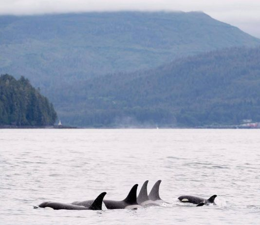 Researchers study Salish Sea's endangered orcas amid quietest ocean in '3 or 4 decades'