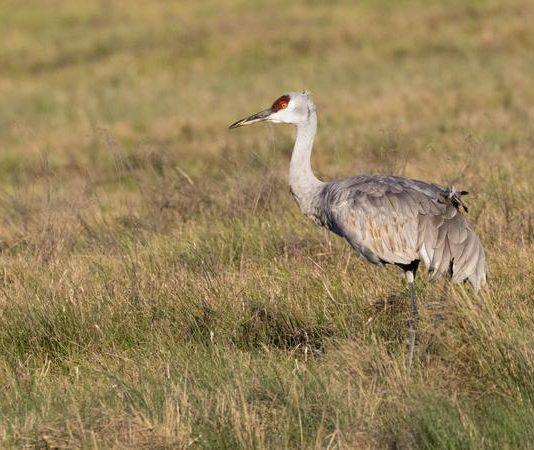 Alberta adds sandhill crane hunting season, Report