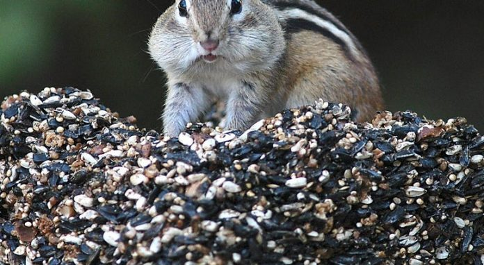 Chipmunks are driving people nuts in New England, Report