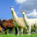 Engineered llama antibodies neutralise Coronavirus