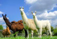 Engineered llama antibodies neutralise Coronavirus