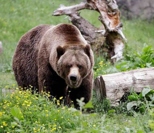 Humans driving grizzlies into the dark,says new research