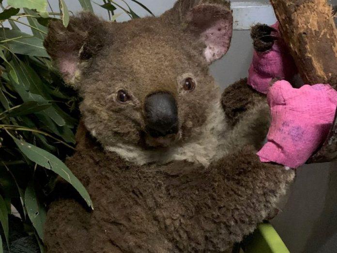 Koalas Face Extinction Threat After Wildfires, Report