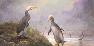 New Zealand 'monster penguins' had Northern Hemisphere doppelgangers, According to Study