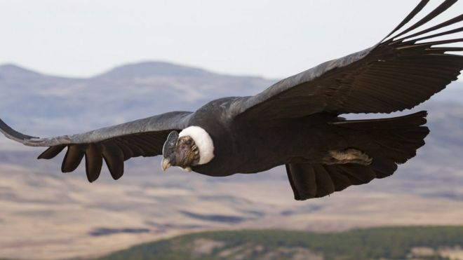 Study: Andean condor birds 'flap wings just 1 percent of the time'